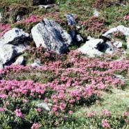 Alpesi növények állítják meg az időt