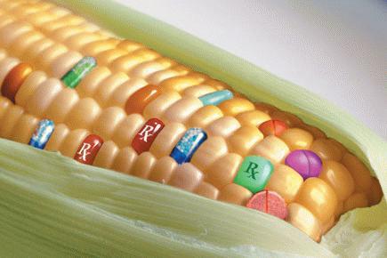 génmódosított kukorica