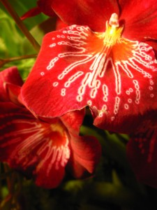 6_Red Orchid_Orchidea rossa