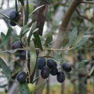 Abruzzo aranya, avagy az olívaolaj alkímiája
